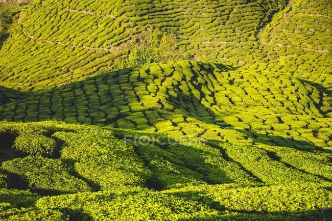 Paesaggio collinare con piantagione di tè a Cameron Highlands, Pahang, Malaysia — Foto stock