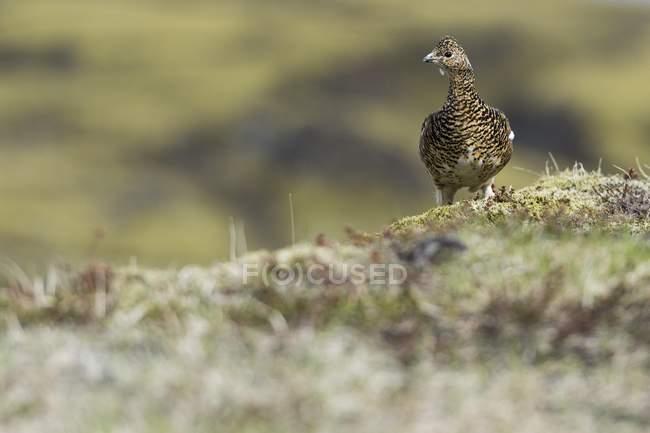 Uccello della pernice bianca roccia sul terreno muscoso — Foto stock
