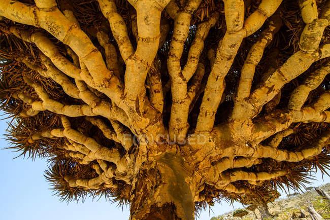 Закри Сокотра дракон дерева на Dixsam плато, Сокотра, Ємен, Азії — стокове фото