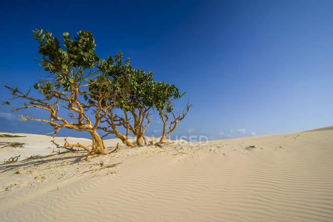 Чагарників у піщані дюни на острові Сокотра, Ємен, Азії — стокове фото