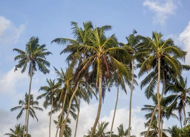 Coconut trees against blue sky, Sri Lanka, Asia — стокове фото
