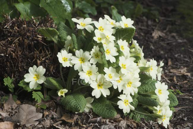 Primrose flowers growing in dried autumnal leaves. — Stock Photo