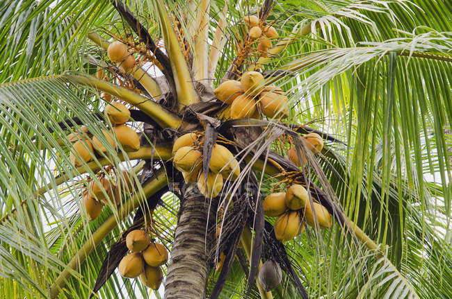 Low angle view of coconuts on coconut palm — Stock Photo
