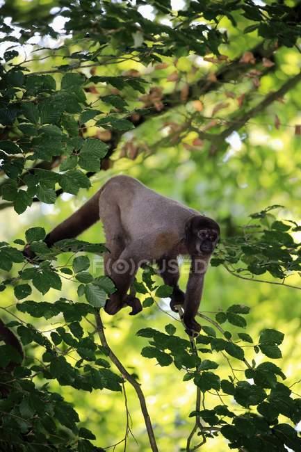 Macaco-barrigudo andando no ramo de árvore no jardim zoológico — Fotografia de Stock