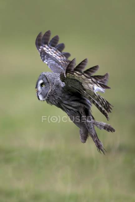 Grande gufo grigio volare in prato verde — Foto stock