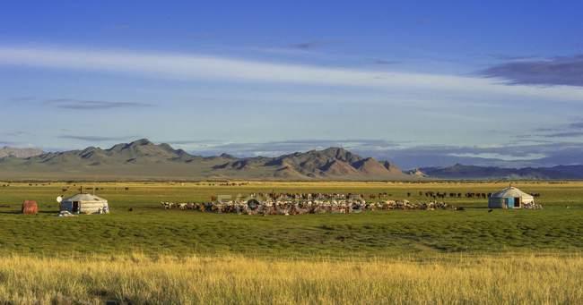 Gregge di capre e yurte dei nomadi su erba con le montagne in Mongolia, Asia — Foto stock