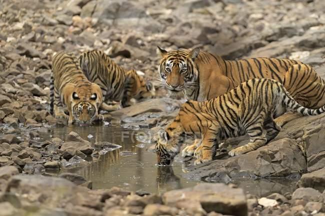 Visão aérea de tigresa com filhotes água potável do lago no parque Ranthambhore na Índia — Fotografia de Stock