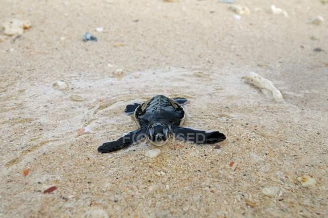 Tartaruga-verde entrar água em Redang island, Malásia, Ásia Pacífico — Fotografia de Stock