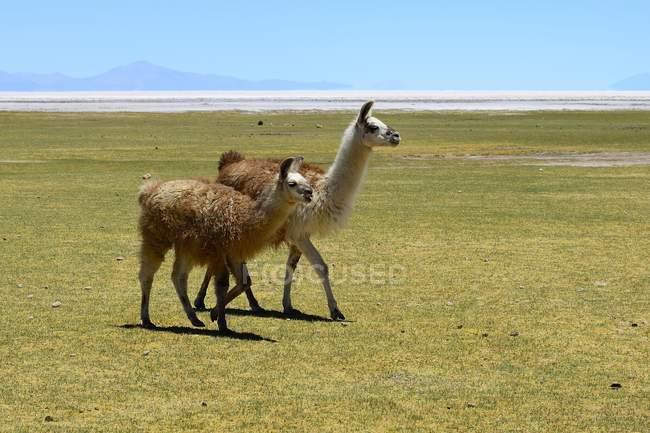 Llamas in green meadow of Salar de Uyuni, Tahua, Potosi, Bolivia, South America — Stock Photo