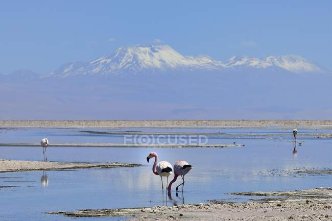 Flamencos de Andes alimentándose en bajo la sal lago, Reserva Nacional Los Flamencos, Chile, Sur América - foto de stock
