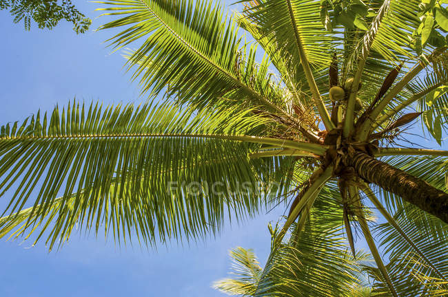 Low angle view of coconut palm against blue sky — Stock Photo