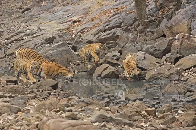 Vue aérienne de tigresse avec eau potable oursons d'étang dans parc de Ranthambhore en Inde — Photo de stock