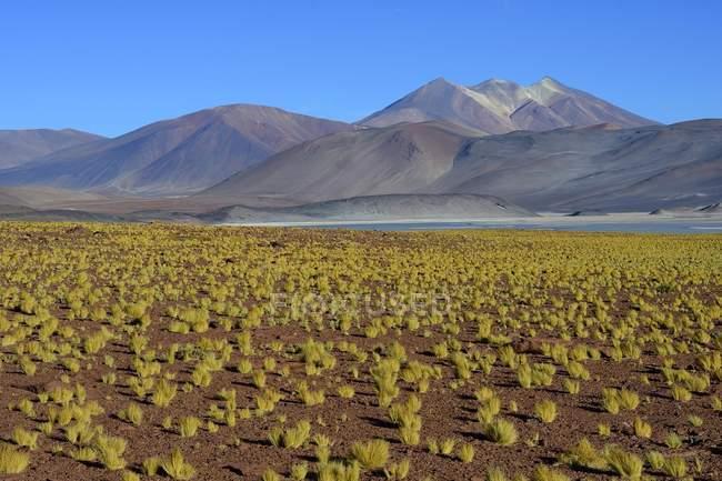 Vegetazione al Salar de Talar piatto di sale nella regione di Antofagasta del Cile, Sud America — Foto stock