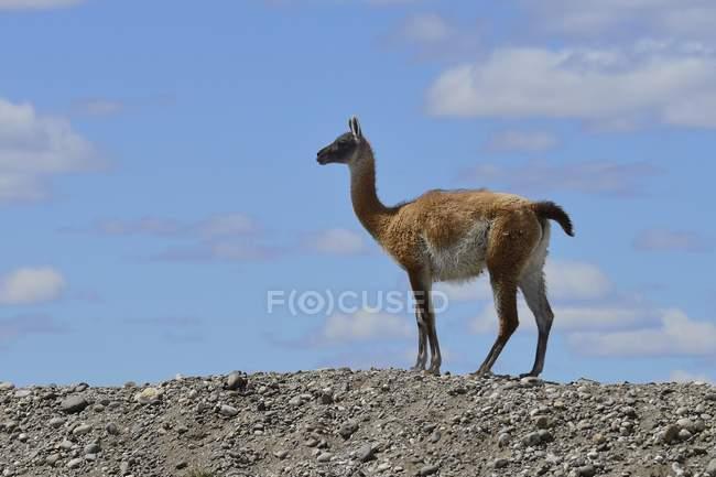 In piedi di guanaco ricerca in Patagonia, Argentina, Sud America — Foto stock