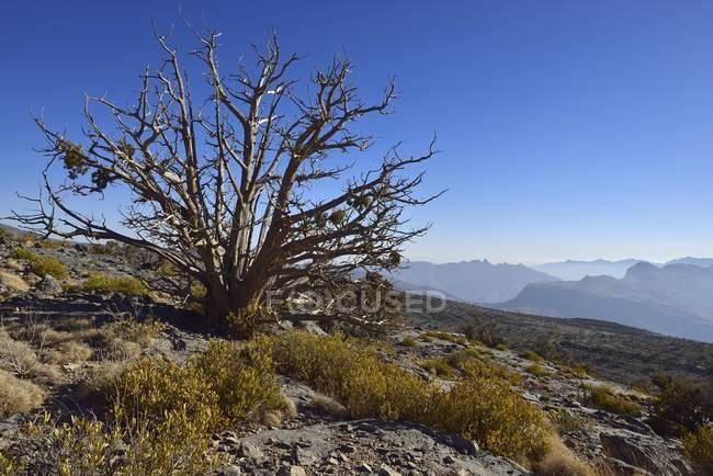 Antiguo enebro árbol en meseta de impostores de Jabal, Al Hajar al Gharbi montañas, Dakhiliyah, Sultanato de Omán, Asia - foto de stock