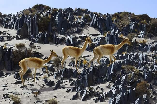 Vicunas на місцевості з піском і гострі камені в Катамарка, Аргентина, Південна Америка — стокове фото
