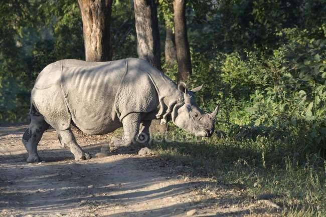 Indian rhinoceros crossing forest road in Kaziranga National Park, Assam, India, Asia — стоковое фото
