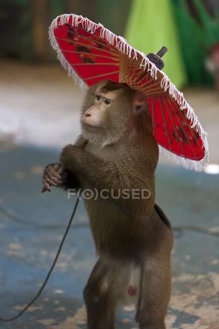 Macaque maiale-munito del Nord che tiene un ombrello rosso per spettacolo turistica in Thailandia, Asia — Foto stock