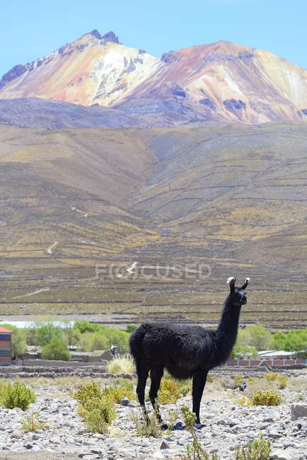 Llama fronte vulcano Tunupa al Salar de Uyuni, Potosi, Bolivia, Sud America — Foto stock
