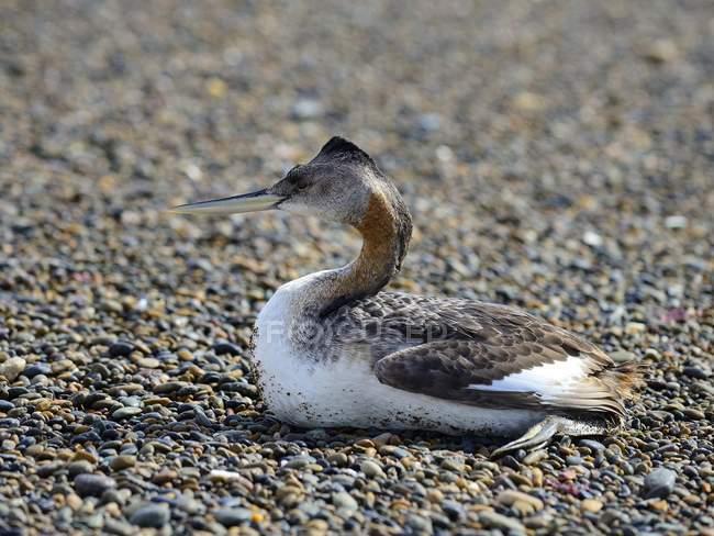 Uccello grande grebe alla ghiaia beach, Camarones, Chubut, Argentina, Sud America — Foto stock
