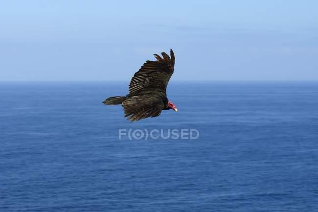 Avvoltoio della Turchia volando sopra il mare in Antofagasta region, Cile, Sud America — Foto stock