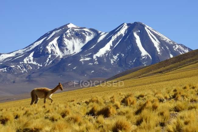 Викуна, выпаса скота на пастбище на Lascar вулкана в Антофагаста, Чили, Южная Америка — стоковое фото