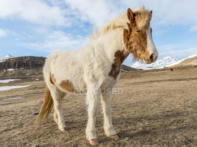 Cavallo islandese con cappotto di inverno in piedi nel paesaggio arido, sud dell'Islanda, Islanda, Europa — Foto stock