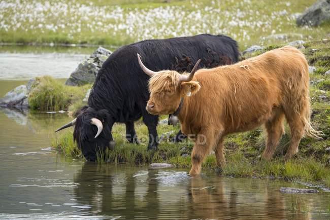 Bestiame scozzese dell'altopiano sul pascolo alpino, Scheidseen, Galtür, Tirolo, Austria, Europa — Foto stock