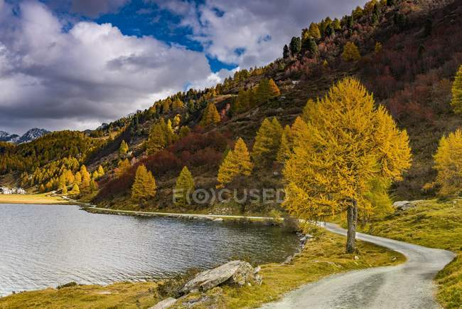 Autumnal discolored larches by Silser See, Sils, Upper Engadine, Switzerland, Europe — стоковое фото