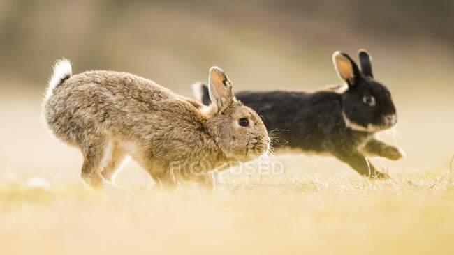 Два европейских кроликов, играя в лугу, макро — стоковое фото