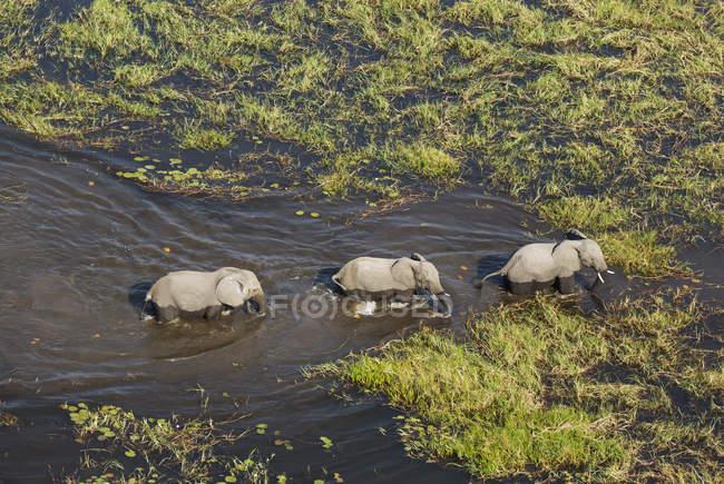 Elefantes africanos de roaming no pântano de água doce do Okavango Delta, Botswana, África — Fotografia de Stock