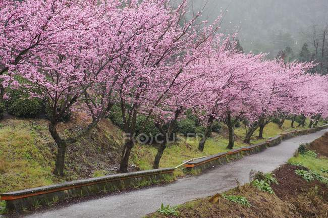 Flowering cherry trees by road in Wuling, Taiwan, China, Asia — Stock Photo