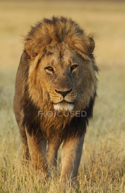 Leone maschio che cammina nel Savuti, Parco nazionale di Chobe, Botswana — Foto stock