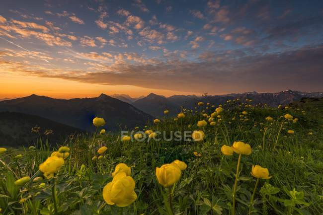 Sunrise behind meadow with gobeflowers and Lechtaler Alps in background, Tannheimer Tal, Tyrol, Austria, Europe — Stock Photo