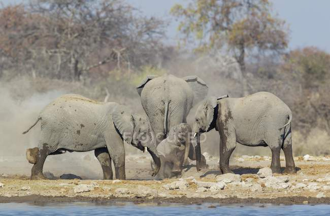 African elephant cow and calves enjoying dust bath at waterhole, Etosha National Park, Namibia — стокове фото