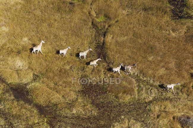 Vista aérea de girafas Sul-Africano roaming em um charco de água doce, Delta do Okavango, Botswana, África — Fotografia de Stock