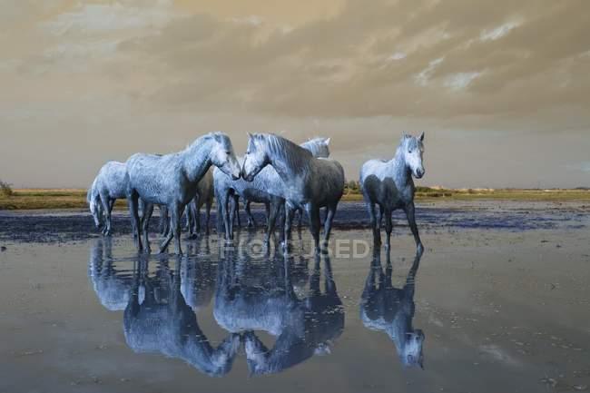 Камарг белые лошади на пляже, отражая в воде, Камарг, Франция, Европа — стоковое фото