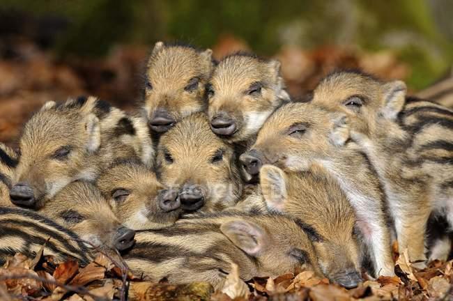 Porcellini del cinghiale dorme nel fogliame autunnale, close-up — Foto stock
