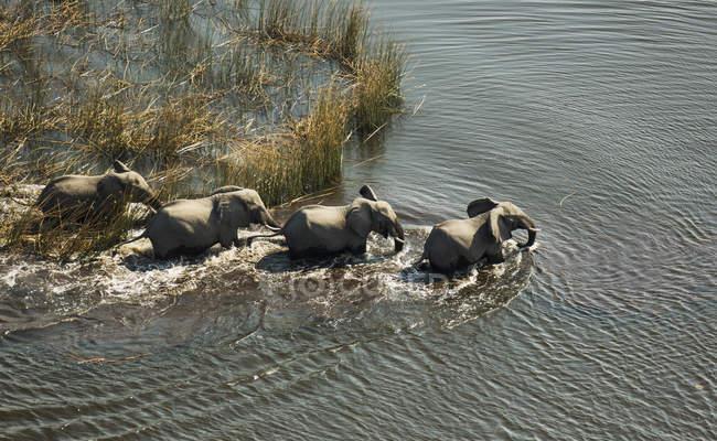 Elefantes africanos, cruzando o córrego do Delta do Okavango, Botswana, África — Fotografia de Stock