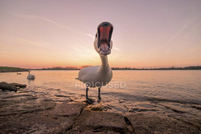 Hissing mute swan by Rhine at sunset, Baden-Wurttemberg, Germany, Europe — Stockfoto