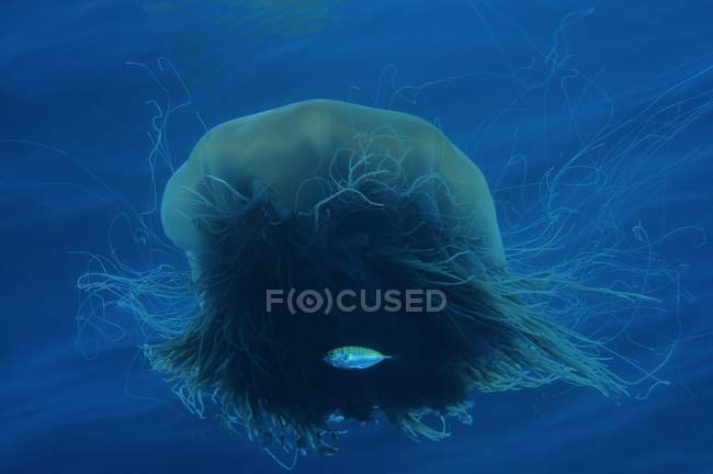 Lions mane jellyfish with fish swimming in ocean water — стокове фото