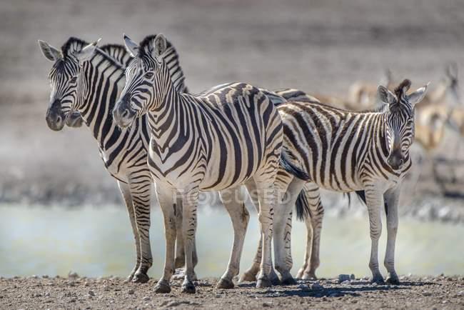 As zebras Burchells rebanho permanente no poço de água, Parque Nacional de Etosha, Namíbia, África — Fotografia de Stock