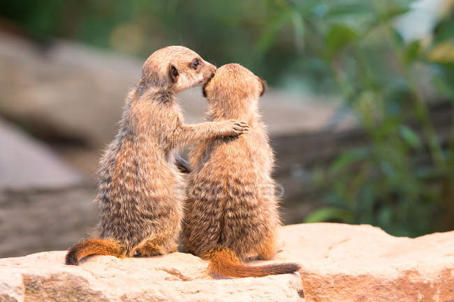 Два meerkats, сидя на скалах, вид сзади — стоковое фото