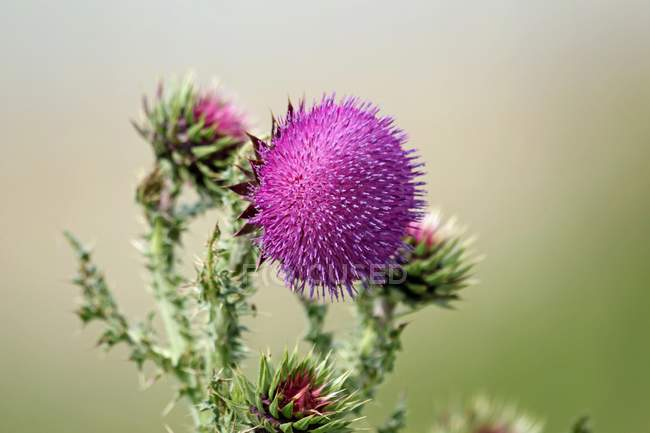 Pink welted thistle flowers, close-up. — Stock Photo