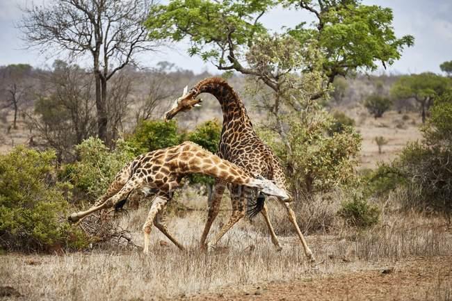 Maschi di giraffa del sud combattendo nel Parco nazionale di Kruger, Sudafrica, Africa — Foto stock