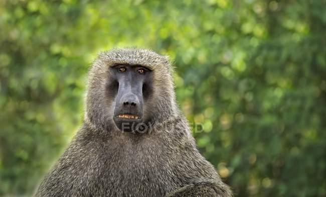 Olive baboon looking in camera, Samburu National Reserve, Kenya, Africa — Foto stock