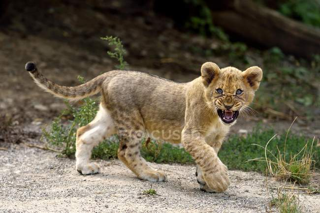 Young lion snarling while walking on sandy ground — Stock Photo