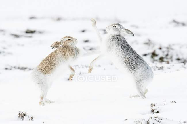 Mountain hares boxing in snowy field — стоковое фото
