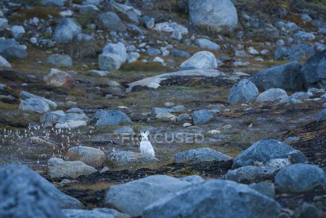 Lepre artica tra grosse pietre, Groenlandia, Nord America — Foto stock