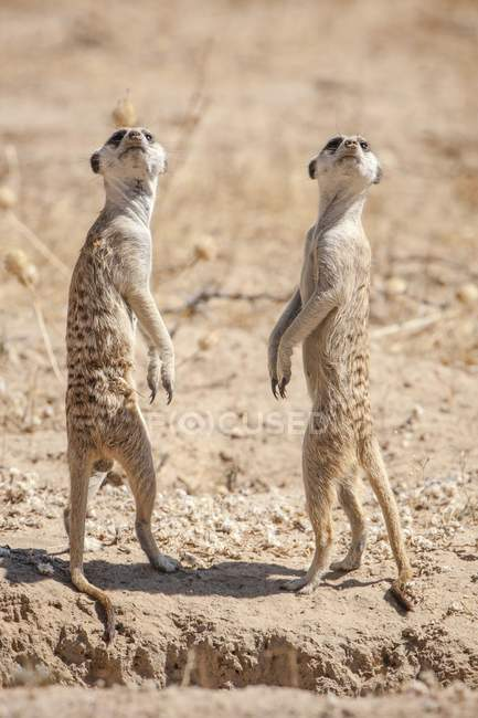 Meerkats on lookout, Kgalagadi Transfrontier Park, Northern Cape, South Africa, Africa — Foto stock